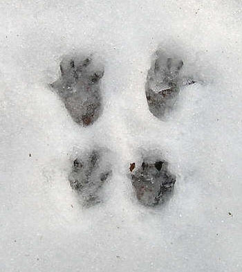 rotte fodspor