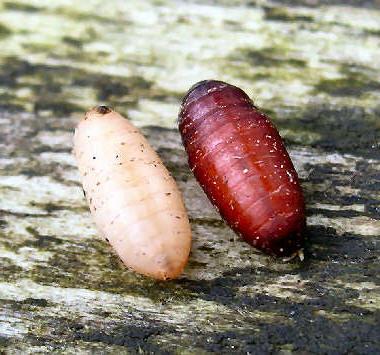 larver i mad