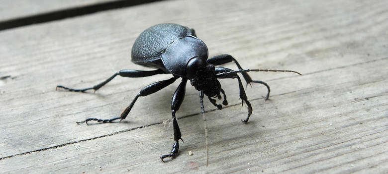 stor sort bille