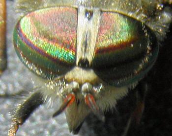 fluer for øjnene