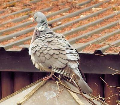 udposning på fugles spiserør