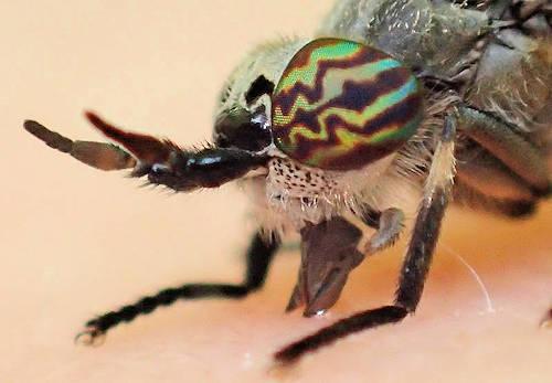 hvor mange øjne har en flue