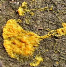 gul svamp i potteplante
