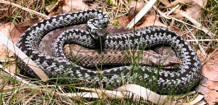 slange parring