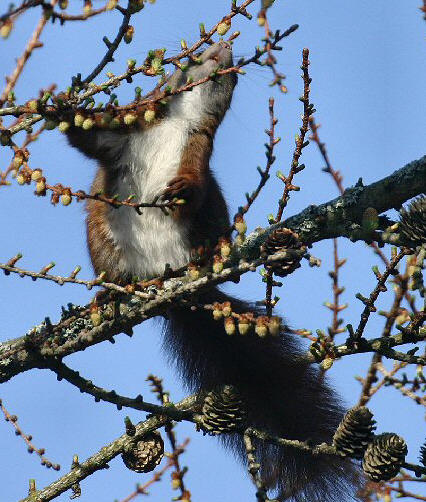hvordan lyder et egern