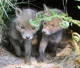 Får faktisk flere unger og de lever længere end ræve i skoven