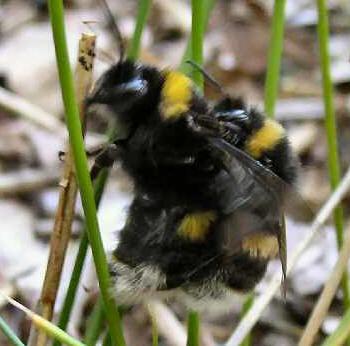 stikker humlebier