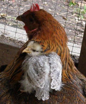hvor gamle bliver høns