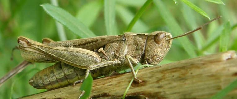 græshoppe ben