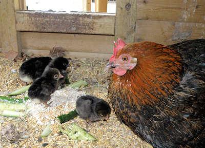 Kyllinger i hønsehuset