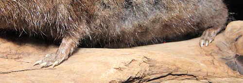 mus med lange bagben