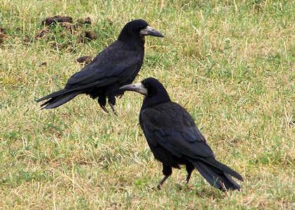 sort fugl