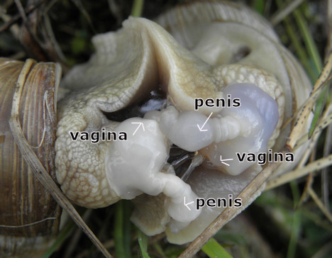 hermafrodit kønsorganer