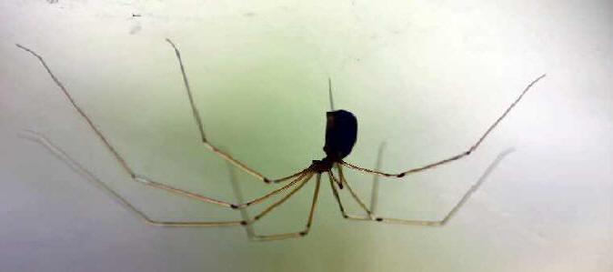 stankelben edderkop