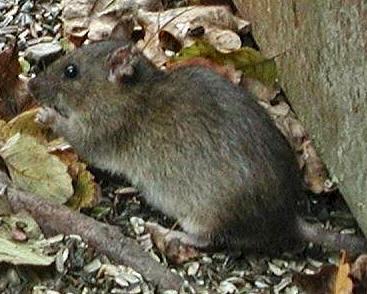 rotter inde i huset